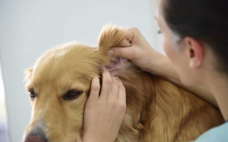 vet checking ears dog