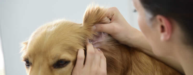 vet checking ears dog