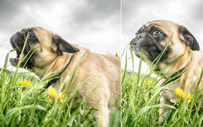 pug eating grass