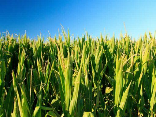 Magic of Maize/Polenta