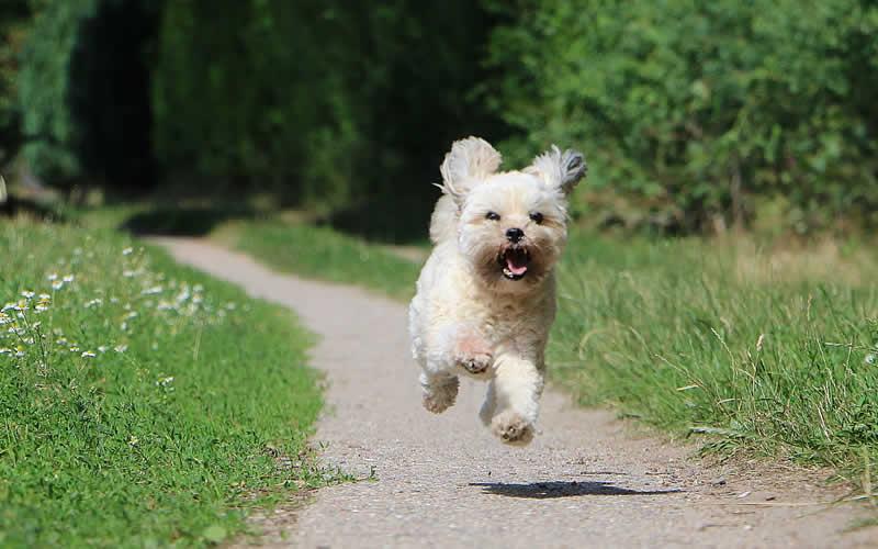 poodle bouncing vegan dog food