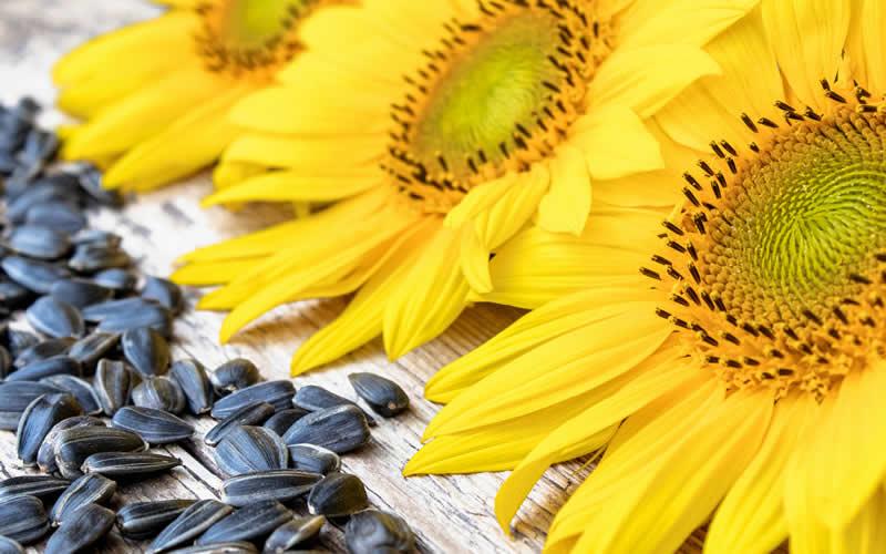 Sunflower seeds in vegan dog food