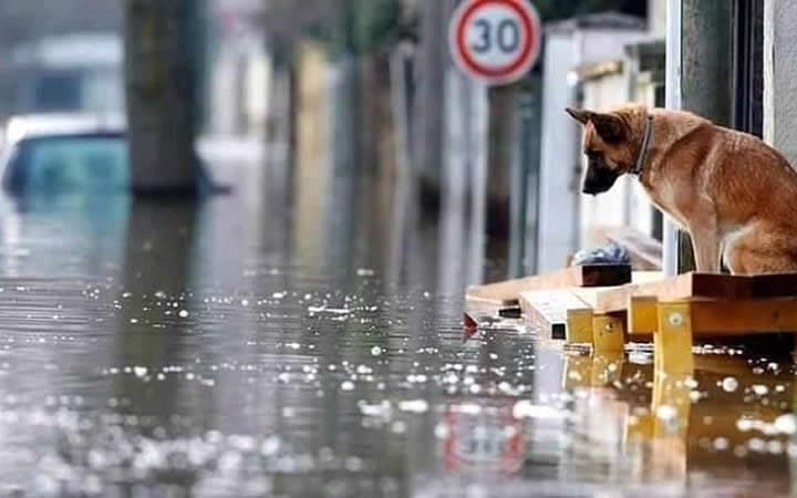 flood waters in Germany with GSD watching