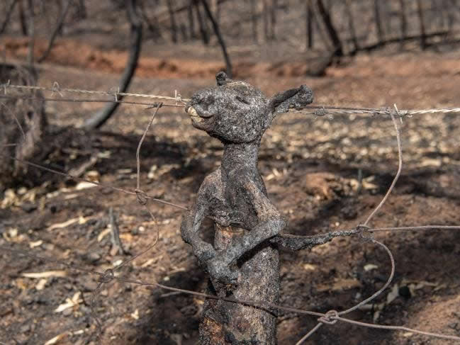 burnt baby kangaroo on a fence from Australian bushfires