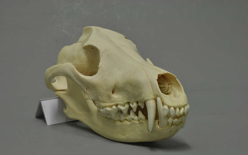 The skull of a maned wolf