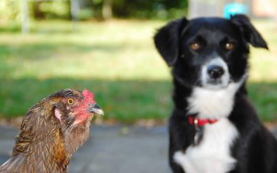 It all started with a chicken called Coco…….