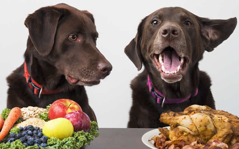 2 chocolate brown labradors one with a whole chicken and one with a vegan diet