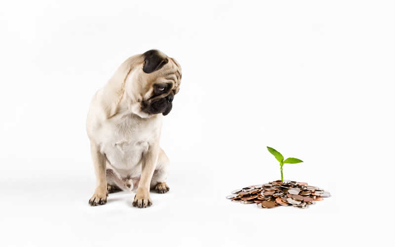 pug looking at small bud with coins