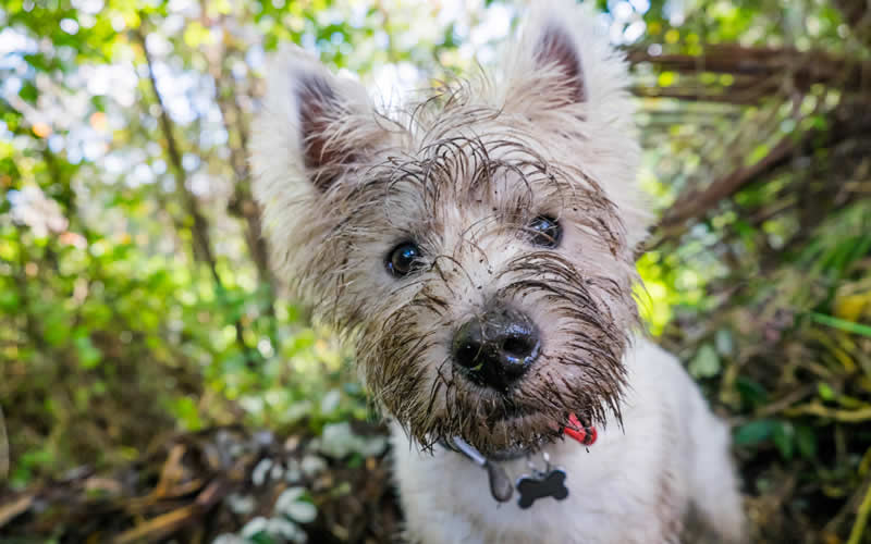 Westie with mud all over his face from a possible Vitamin B12 deficiency
