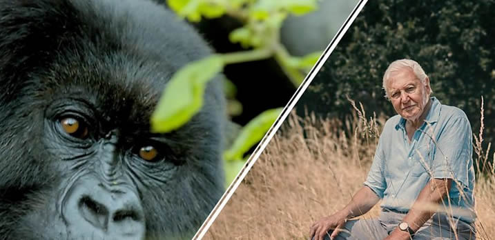 david attenborough and mountian gorilla