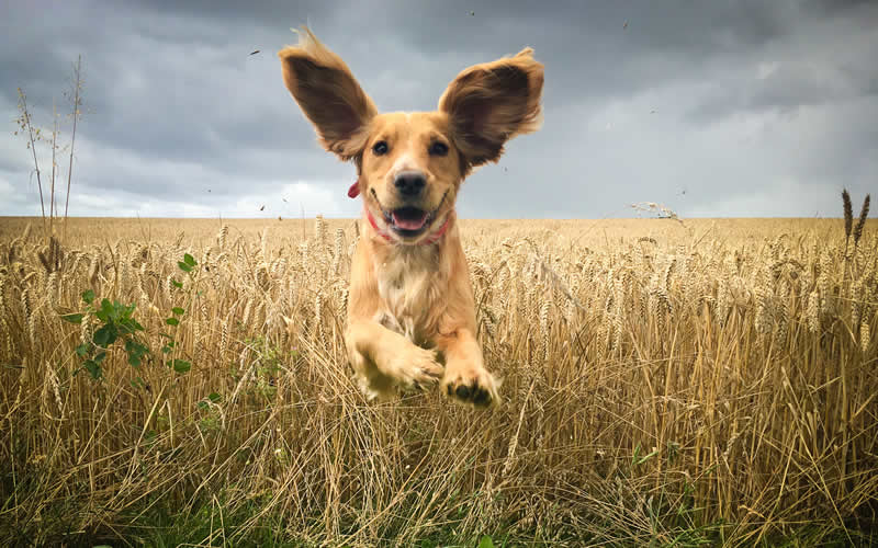 happy dog running in the wheat