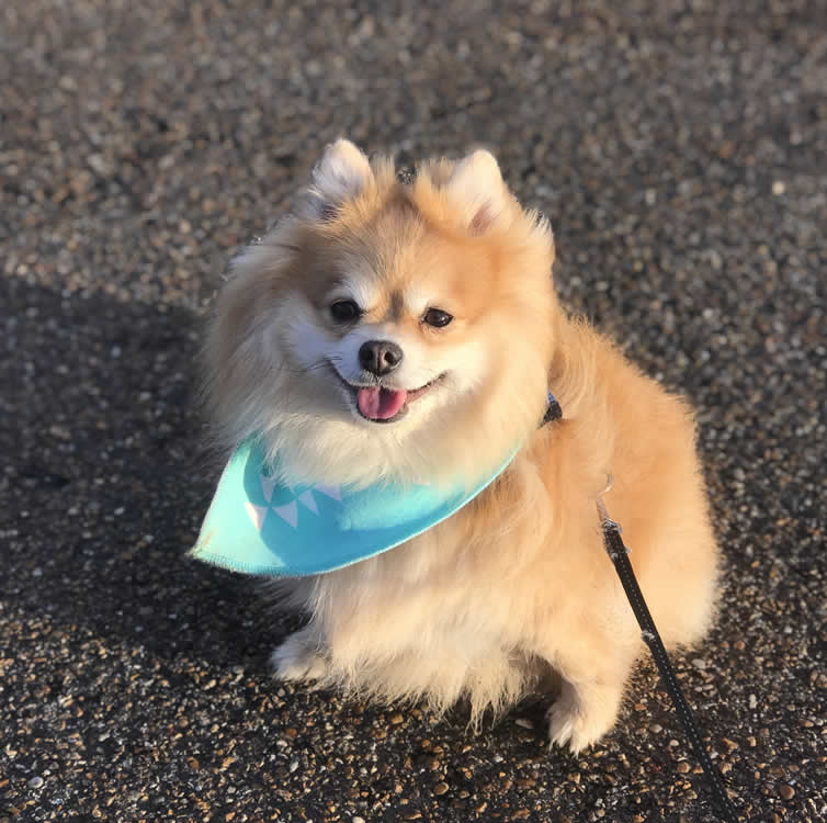 Overweight vegan pomeranian called Simba