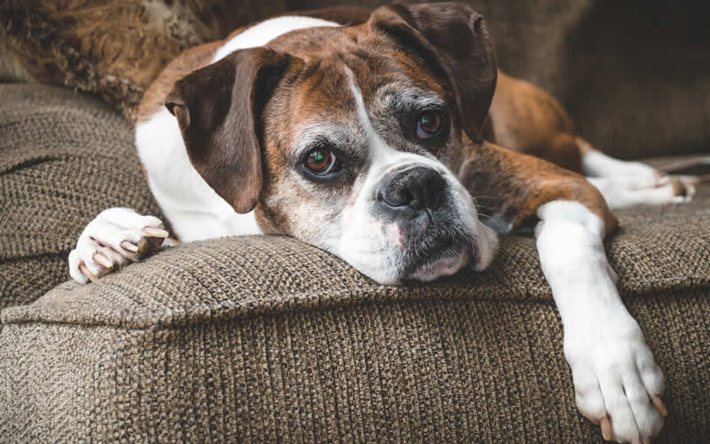 elderly plant-based dog  - a Boxer on sofa