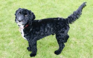 Vegan Cockapoo Rupert who has eaten benevo all his life but suffered with urinary crystals