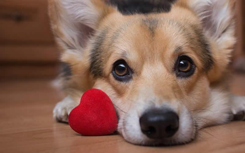 corgi and red heart