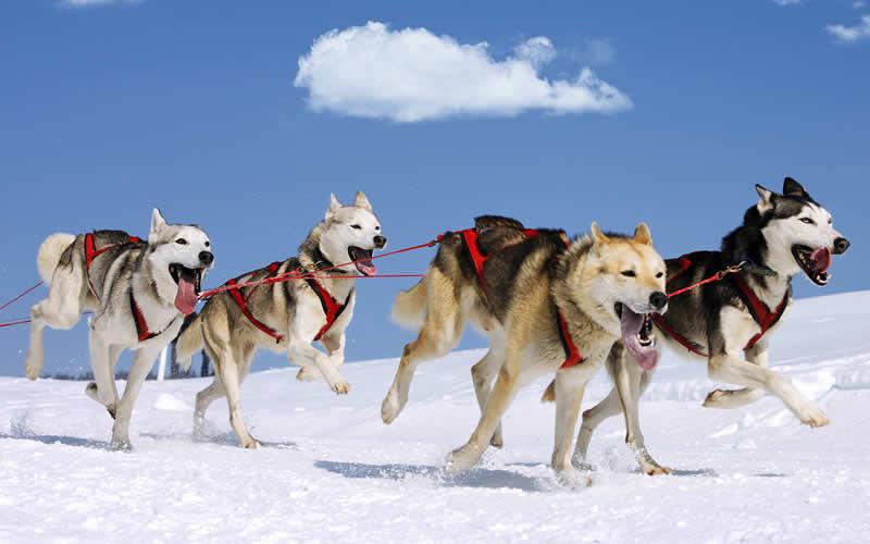 vegan siberian huskies racing