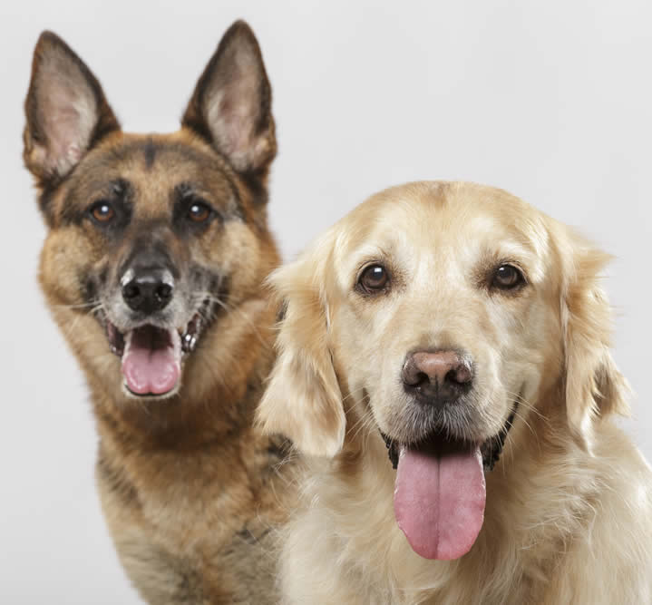 German shepherd and Retriever