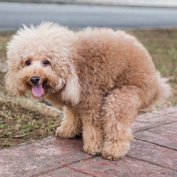 pooing dog